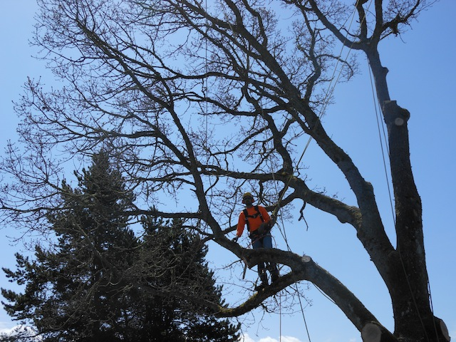 pruning-lake-tapps-wa