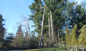 pruning-large-trees-spanaway-wa