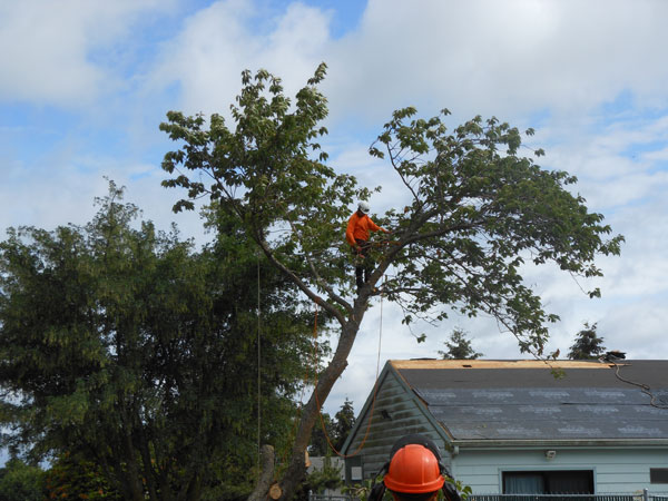 Trimming-Tall-Trees-Steilacoom-WA