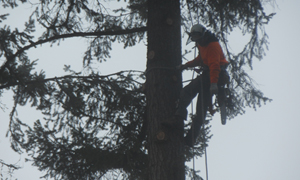 tree-trimming-lakewood-wa